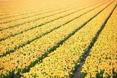Fileiras de tulipas amarelas no Dutch Imagem de Stock