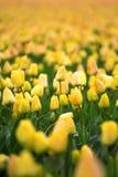 Fileiras de tulipas amarelas no Dutch Imagens de Stock
