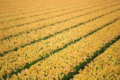 Fileiras de tulipas amarelas no Dutch Fotografia de Stock Royalty Free