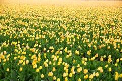 Fileiras de tulipas amarelas no Dutch Fotos de Stock