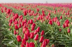 Fileiras de tulipas vermelhas de florescência Foto de Stock Royalty Free