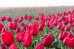 Fileiras de tulipas vermelhas de florescência Fotografia de Stock Royalty Free