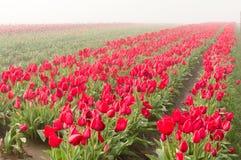 Fileiras de tulipas vermelhas de florescência Imagens de Stock Royalty Free
