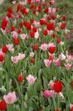 Fileiras de Tulips vermelhos Imagem de Stock Royalty Free