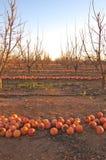 Fileiras de um campo completamente dos caquis na terra após uma geada do inverno fotografia de stock royalty free