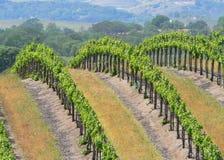 Fileiras de vinhas Foto de Stock