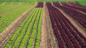 Fileiras do arco-íris colorido dos campos agrícolas de plantas da alface das colheitas, incluindo o verde, vermelho, variedades r imagem de stock