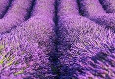 Fileiras do campo de flores da alfazema, close up, Provence, França Imagem de Stock