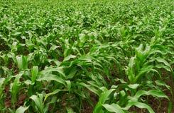 Fileiras do campo de milho novo Imagens de Stock