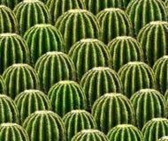 Fileiras do catus verde imagens de stock