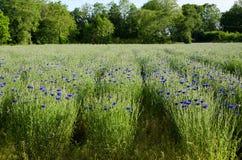 Fileiras do Cornflower Foto de Stock