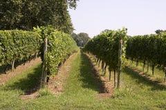 Fileiras do crescimento das uvas Imagem de Stock