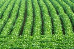 Fileiras do feijão de soja Imagem de Stock Royalty Free