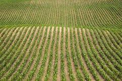 Fileiras do milho Imagens de Stock