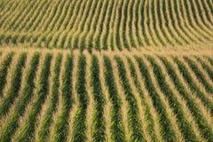 Fileiras do milho em um campo no sol do fim da tarde imagens de stock royalty free