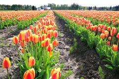 Fileiras do Tulip imagem de stock royalty free