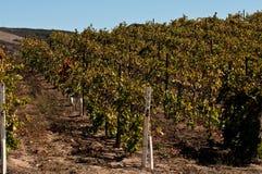 Fileiras do vinhedo de Califonria Foto de Stock