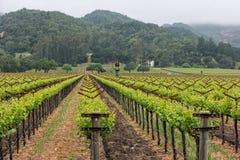 Fileiras do vinhedo de Napa Valley fotos de stock