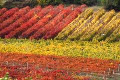 Fileiras do vinhedo no outono Fotos de Stock Royalty Free