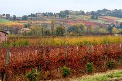 Fileiras do vinhedo no outono Fotos de Stock