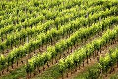 Fileiras do vinho Foto de Stock