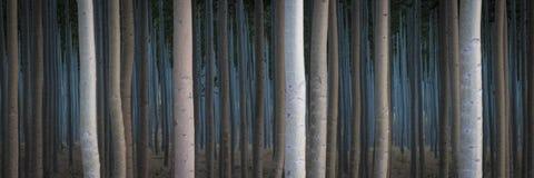 Fileiras dos álamos em uma exploração agrícola de árvore Fotos de Stock