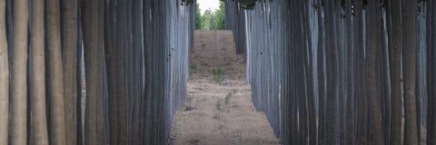 Fileiras dos álamos em uma exploração agrícola de árvore Fotografia de Stock