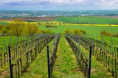 Fileiras dos vinhedos no verão, região sul de Moravian, Checo Republ fotografia de stock