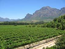 Fileiras dos wineyards imagens de stock royalty free