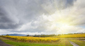 Fileiras infinitas das videiras no vinhedo no vale de Yarra, Austrália dentro Foto de Stock