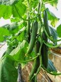 Fileiras longas das videiras de pepino a crescer verticalmente na estufa fotografia de stock