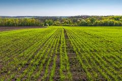 Fileiras no campo de trigo novo na mola Imagens de Stock Royalty Free