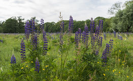 fileld with blue pink lupine Royalty Free Stock Photos