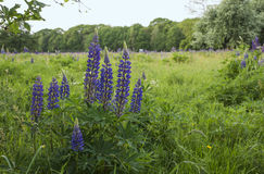 fileld with blue pink lupine Royalty Free Stock Images