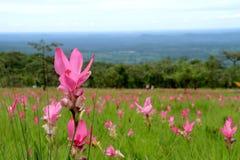 Fileld de la flor del pepino, Chaiyaphum, Tailandia Fotos de archivo libres de regalías