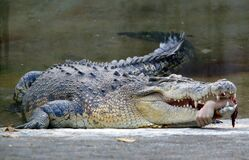 FILES-TAIWAN-ACCIDENT-CROCODILE Stock Photo