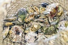 Filet de pêche d'atterrissage avec la récolte de l'huître fermée crue d d'huîtres Photos stock