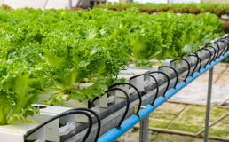 Filey Iceberg lettuce plant Stock Image
