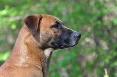Filho do cão marrom grande Fotos de Stock Royalty Free