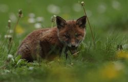filhote Aberto-mouthed da raposa vermelha Fotos de Stock Royalty Free