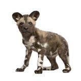 Filhote africano do cão selvagem (9 semanas) - pictus de Lycaon Fotografia de Stock Royalty Free