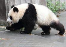 Filhote da panda que come o bambu Fotos de Stock
