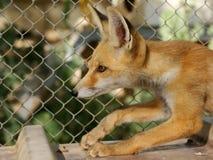 filhote da raposa Imagens de Stock Royalty Free