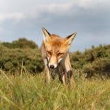 Filhote da raposa vermelha Fotos de Stock