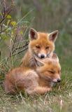 Filhote da raposa vermelha fotografia de stock