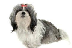 Filhote de cachorro 1 de Shih Tzu Foto de Stock