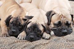 Filhote de cachorro 100 de Bullmastiff Imagens de Stock
