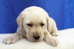 Filhote de cachorro 15 do retriever de Labrador Imagem de Stock