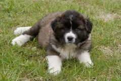 Filhote de cachorro Foto de Stock Royalty Free