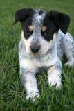 Filhote de cachorro 3 de Heeler Fotografia de Stock Royalty Free
